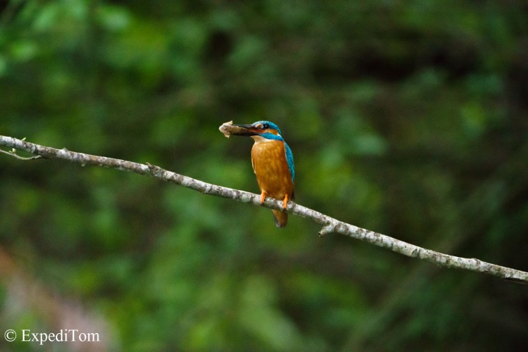 Kingfisher with bullhead
