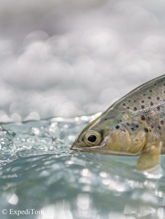 Brown Trout Swiss Alps