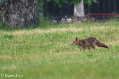 Fox mother