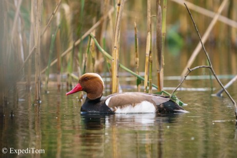 Red crested ducks