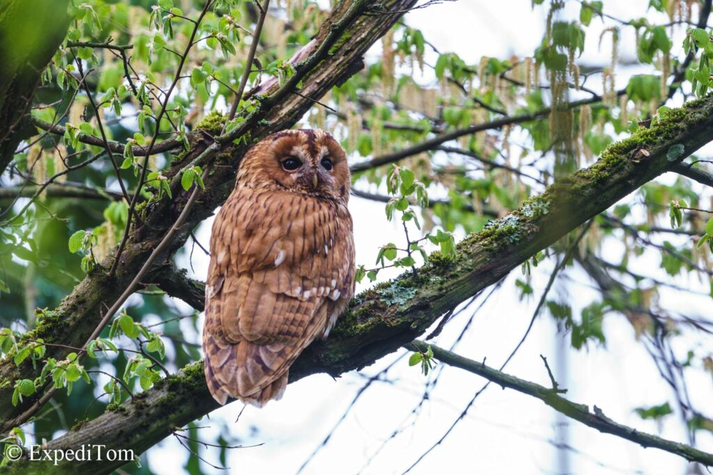 Tawny Owl adult protecting and feeding their youngsters