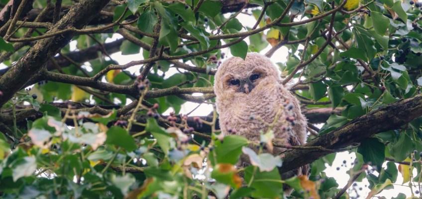 Tawny Owl Baby