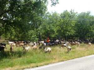 Goats along the road!