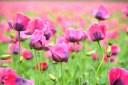 Natur Blumen Mohn
