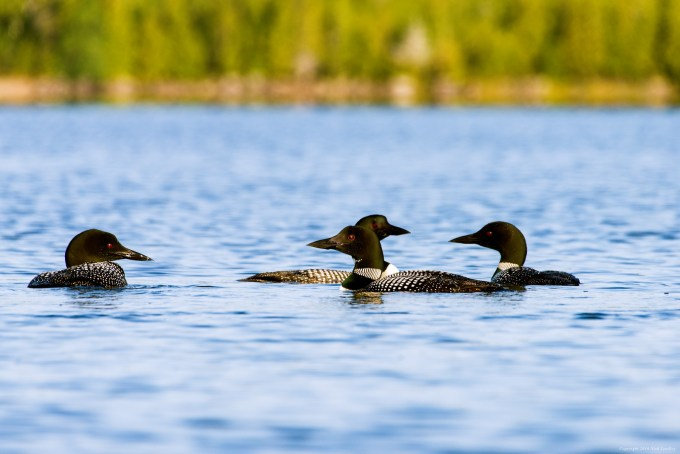 Loons in Rangeley, Maine, Saddleback Lake