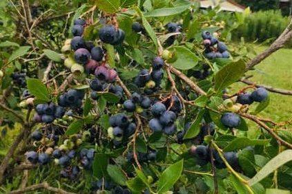 Berry Good Acres