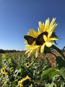 Jackson's-Pumpkin-Farm-Sunflower-Web
