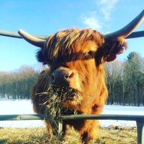 Kingbird-Farm-Cow-Web