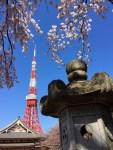 Tokyo Tower Cherry Blossoms (Sakura)