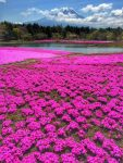 Fuji Shibazakura festival : Pink wonder world of Moss Phlox