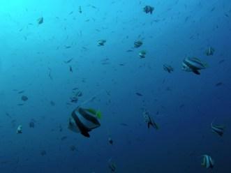 massförekomstfisk3