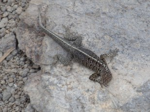 small lava lizard