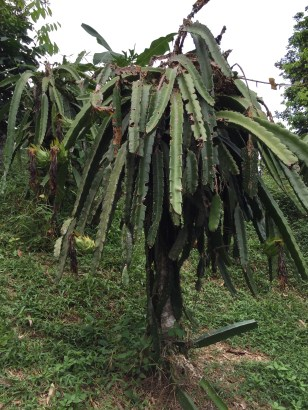 Dragon fruit tree
