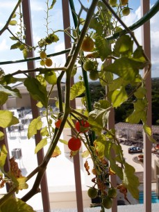 Currant tomatoes in the sun