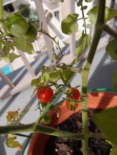 Currant and Black Cherry Tomatoes getting red while still on the plant.