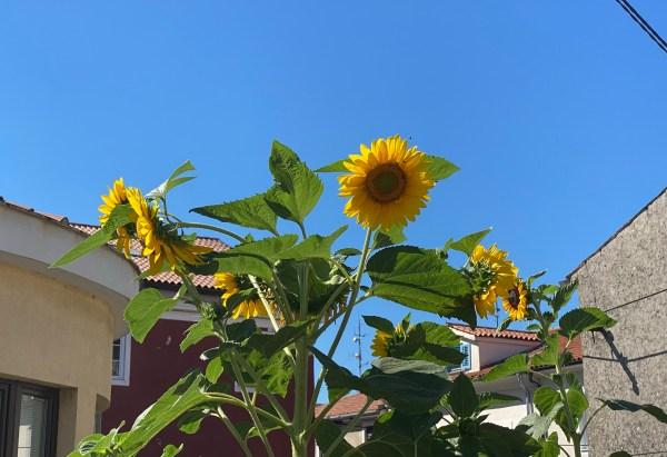 Sunflowers, blue sky