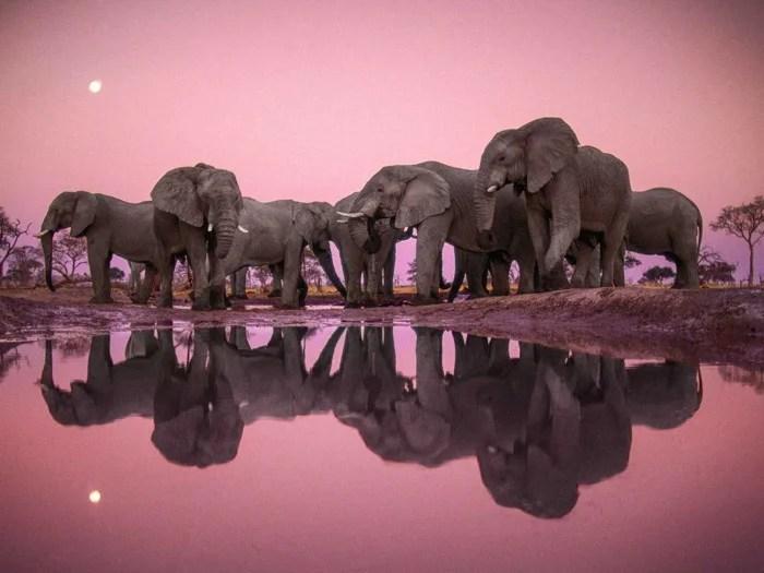 Frans Lanting, superbe photo d'un troupeau d'éléphants rassemblés autour de l'eau.  Le ciel rose et le troupeau se reflètent dans l'eau en contrebas.