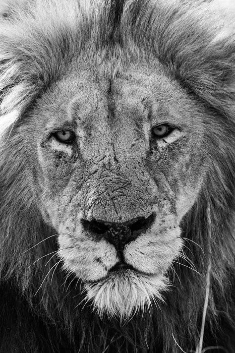 black and white photograph of a lion taken using a telephoto lens from a distance