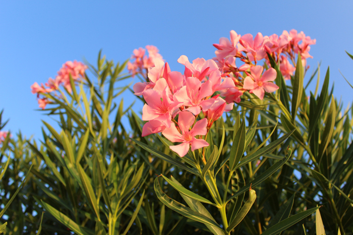 an image of pink flowers against a blue sky