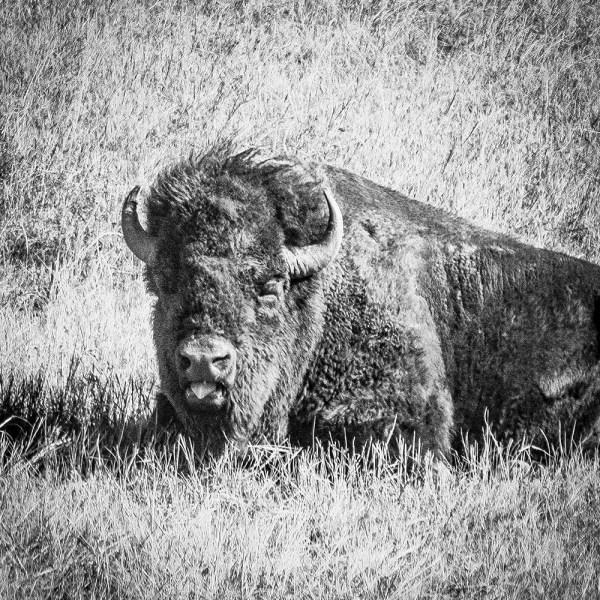 Bison. Wind Cave National Park, SD.