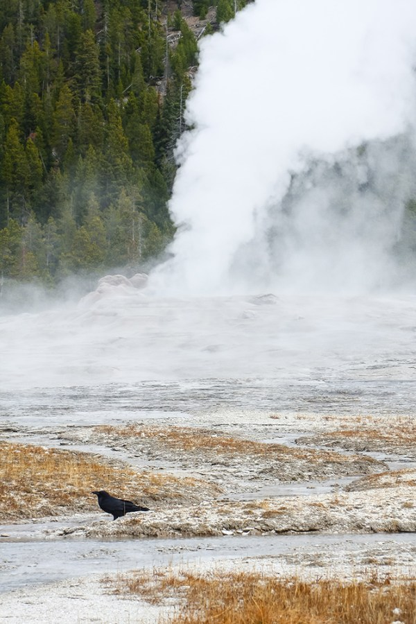 Old Faithful Crow. Yellowstone National Park, WY. October 2015.