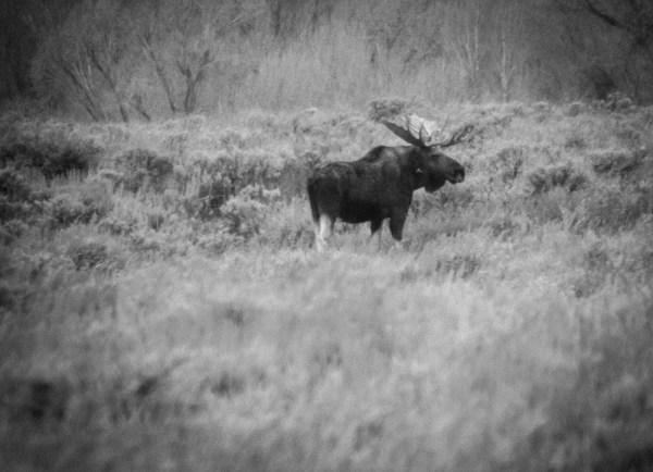 Moose. Moose, WY. October 2015.