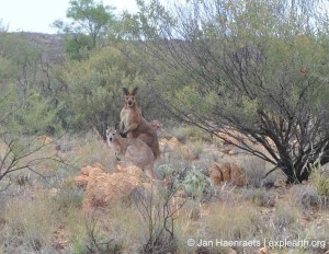 Amongst the kangaroos on the Larapinta Trail, West McDonnell Ranges (Photo: Jan Haenraets, 2012).