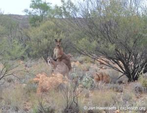 Amongst the kangaroos on the Larapinta Trail, West McDonnell Ranges (Photo: Jan Haenraets, 2012).