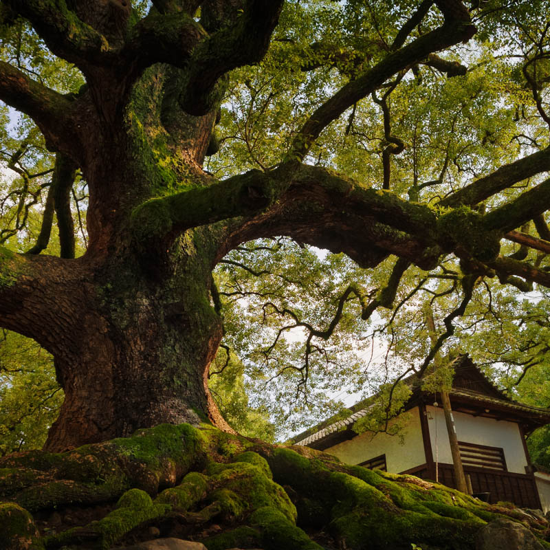 An old camphor tree at the Shoren-in temple