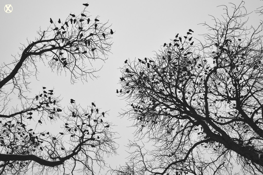 Crows in Kiev