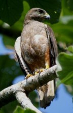 Ridgways Hawk on our Birding Tours from Punta Cana