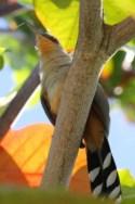 Hispaniolan Lizard Cukoo