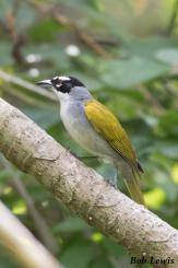 Black-crowned Palm-Tanager-7525