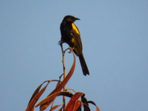 Hispanolan Oriole on our Birding Tours from Punta Cana