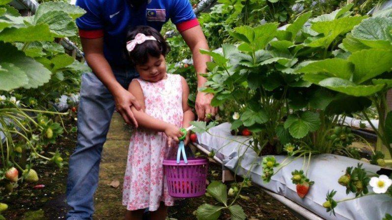 genting-strawberry-leisure-farm-1
