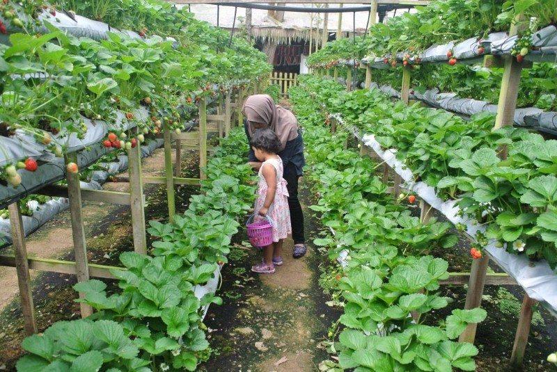 genting-strawberry-leisure-farm-3