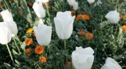 government-garden-white-tulip