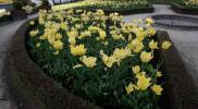 government-garden-yellow-tulip-2