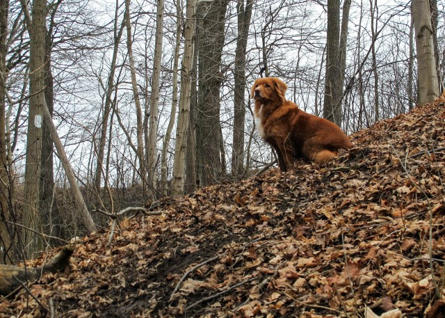 Duck Toller Hiking