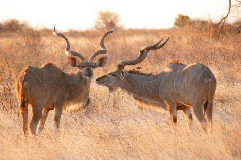 09-12 kudu looking up - explorationvacation