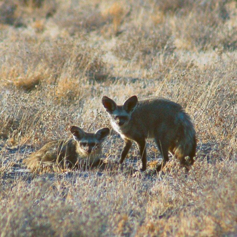 09-13 bat earred foxes - explorationvacation
