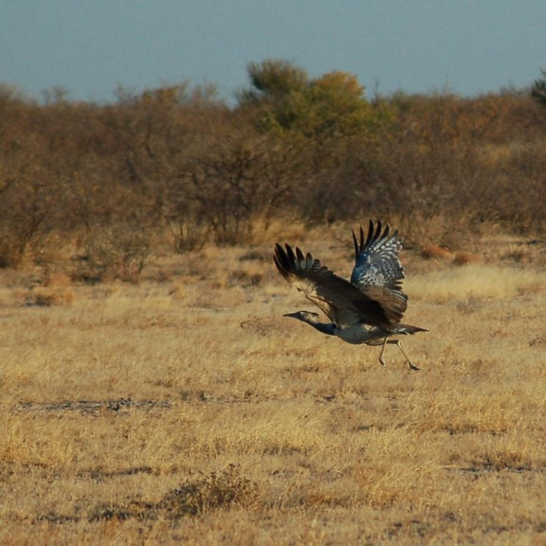 Botswana - ExplorationVacation - 09-13_10-43-36 cori bustard in flight