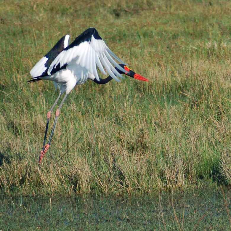 Botswana - ExplorationVacation - 09-22_01-52-20 saddle bill in flight