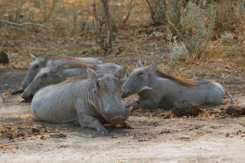 Botswana - ExplorationVacation - 2005-09-22_02-21-55_1 warthogs