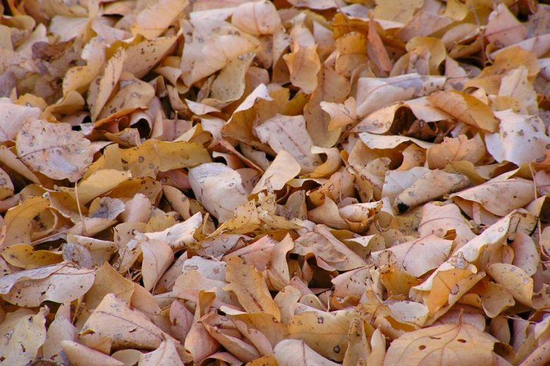 Botswana - ExplorationVacation P1010002b leaves at Chobe