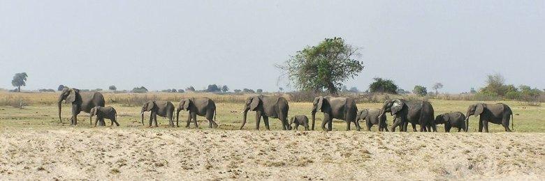 Botswana - ExplorationVacation P1010186 elephants
