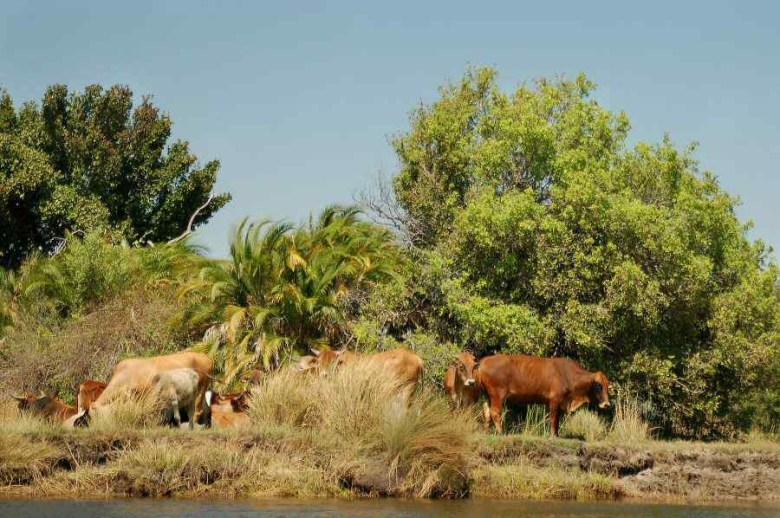 Botswana Okavango - ExplorationVacation - 2005-09-17_cows along shore