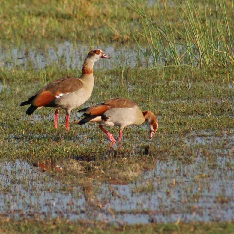 Moremi Botswana - ExplorationVacation - 09-21_00-41-22 Egyptian geese