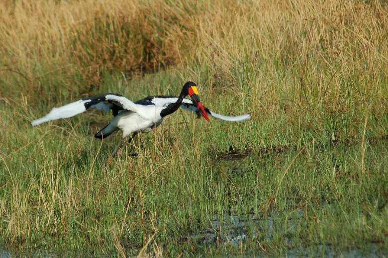 Moremi Botswana - ExplorationVacation - 09-21_01-05-30 saddlebill in flight