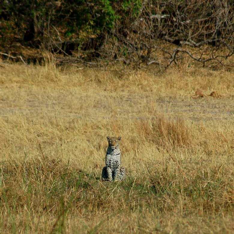 Moremi Botswana - ExplorationVacation - 09-21_01-29-17 leopard